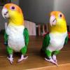 熙儿鹦鹉-好孕帮用户